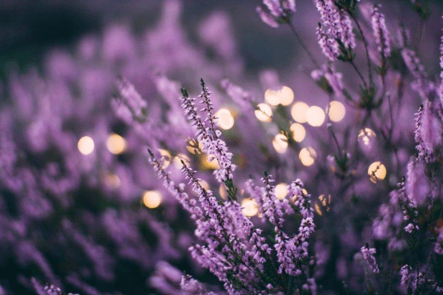 lavender for PMS